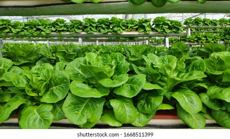 Organic hydroponic fresh green vegetables produce in greenhouse garden