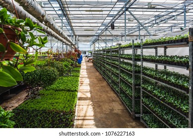 Organic hydroponic ornamental plants cultivation nursery farm. Large modern hothouse or greenhouse or glasshouse, farming growing seedings production