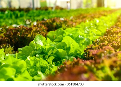 Organic hydroponic vegetable cultivation farm with soft light