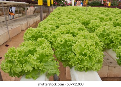 Organic hydroponic vegetable cultivation farm.Hydroponic vegetables growing in greenhouseFresh organic vegetables growing in the farm. Green lettuce. Salad vegetable.