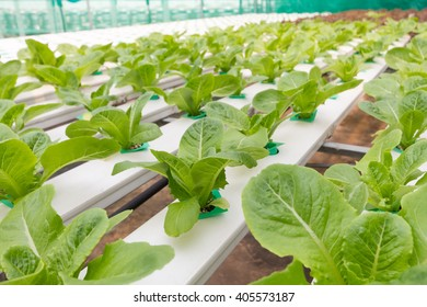 Organic hydroponic vegetable in cultivation farm.Vegetables that are not toxic.Insects can live.