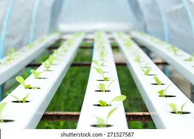 Organic hydroponic vegetable garden open farm
