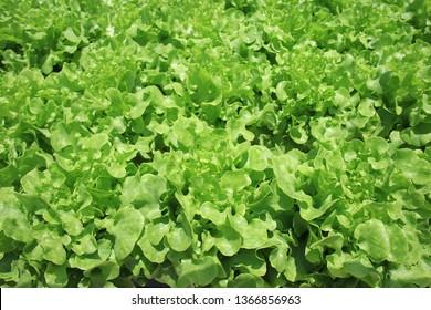 Organic hydroponic vegetable garden, Thailand