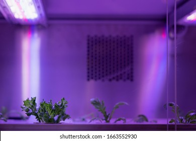 Organic hydroponic vegetable grow with LED Light Indoor farm, Agriculture Technology.