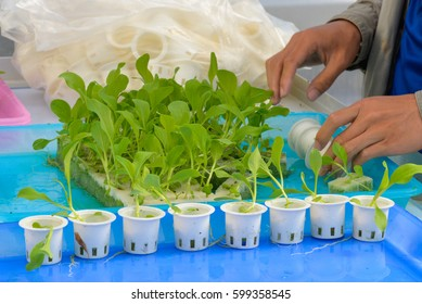 Organic hydroponic vegetable  on hand. start planting nursery business.