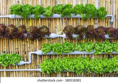 Organic hydroponic vegetables Vertical garden