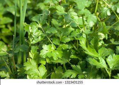 Organic Hydroponics  Parsley and Coriander Growing