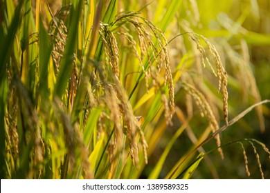 Organic Jasmine Rice in the Rice Field Background