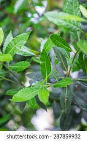 Organic laurel tree with bay leaves