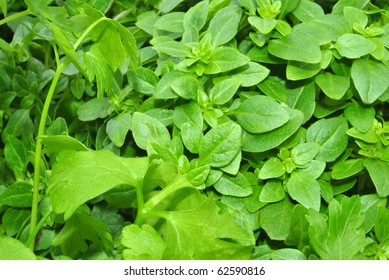 organic leaf basil good to use in the kitchen