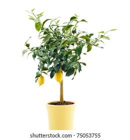 organic lemon tree isolated on white background