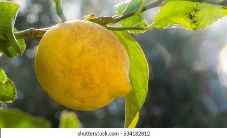 Organic lemon tree on a bio farm in Sicily