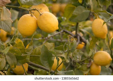organic lemons growing on a lemon tree