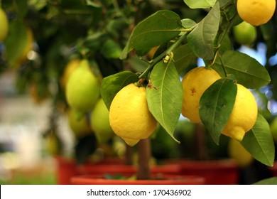 Organic lemons on tree in the pot for sale