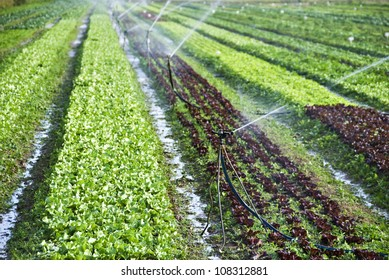 Organic lettuce being watered on the field
