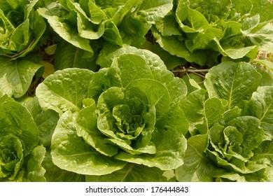 Organic lettuce garden