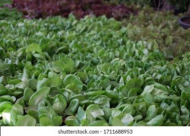 organic lettuce plant growing in vegetable garden. soil cultivation. Agricultural industry.