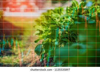Organic Lettuce Plate, And light in the morning, On a closed farm system  Non-toxic, And trading chart, With  forex trading concept Value creation for agricultural products.