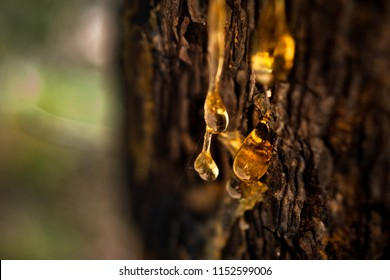 Organic life concept: leaking bright yellow drops of pine tar, resin, with a spider web on a dark tree bark background, sunny summer day