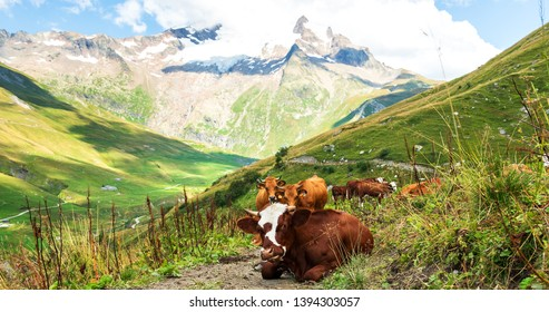 Organic livestock farming. French Alps in summer. Grazing cows at alpine pasture and Aiguille des Glaciers, mountain in Mont Blanc massif, at background. View From Chapieux valley, Savoie, France.