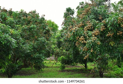 Organic longan garden in Chiang Rai, Thailand,  Dimocarpus longan which is commonly known as the longan is a tropical tree that produces edible fruit.
