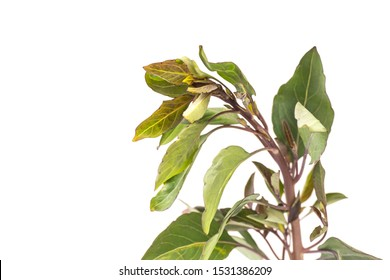 Organic Malabar Spinach isolated on white background