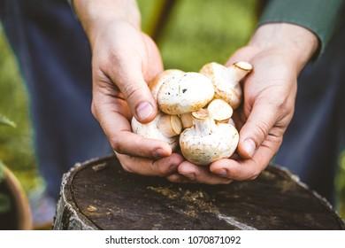 Organic mushrooms. Healthy food. Fresh mushrooms in farmers hands