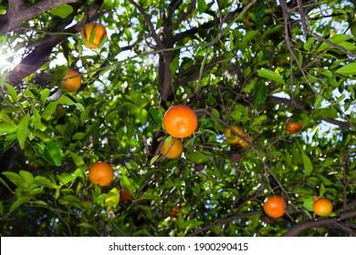 organic orange tangerines in tree ready for harvest season