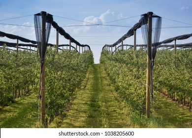 Organic orchard protected with anti hail net