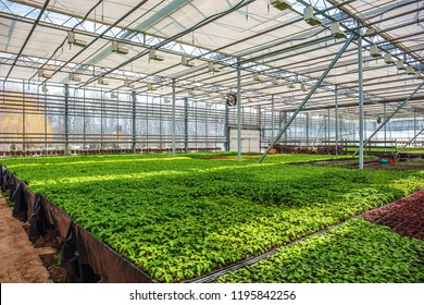 Organic ornamental plants and flowers in modern hydroponic greenhouse or hothouse or glasshouse with climate control system