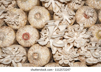 Organic oyster mushrooms growing on a mushrooms farm at Thailand, Oyster mushrooms cultivation at farm