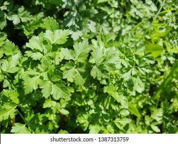 Organic Parsley and Lovage Herb in the Garden, Green Fresh Flavored Leaves, Raw Italian Parsley Background, Countryside View