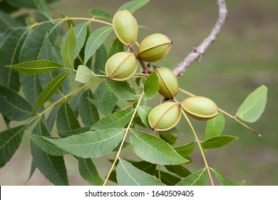 Organic Pecan nuts, a healthy nutritious food, still in their pods growing on a tree.