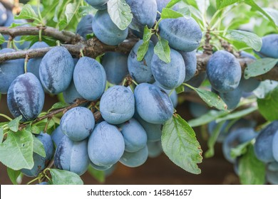 Organic plums on tree branch