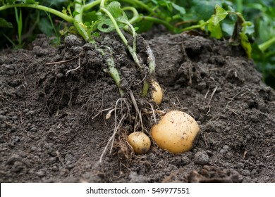 Organic Potato Cultivation in Bangladesh, Agricultural Science