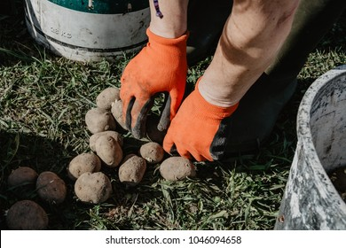Organic potatoes being prepared for planting in the field in spring. Organic farming.