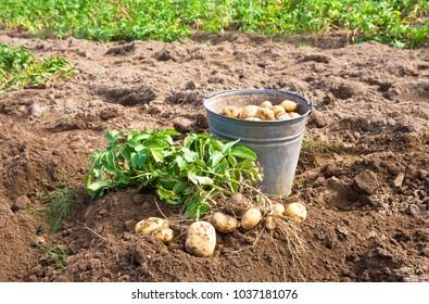 Organic potatoes in metal bucket at the vegetable garden