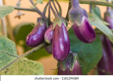 Organic purple eggplants with glossy texture of a small heirloom variety 'Slim Jim', edible fruits of Aubergine plant growing in a pot on balcony as a part of urban gardening project on a sunny summer