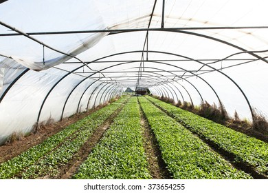 organic radish planting in greenhouses