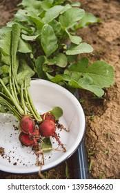 Organic radishes in the garden
