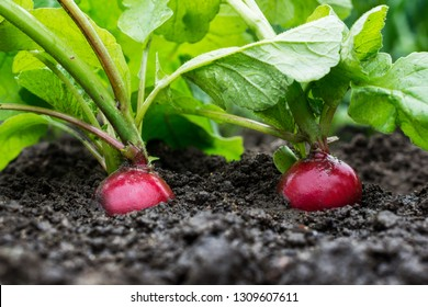 Organic radishes growing up in the garden, harvest of  vegetables in farmland, healthy eating concept
