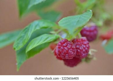 Organic raspberries on a stem, blurry pale background