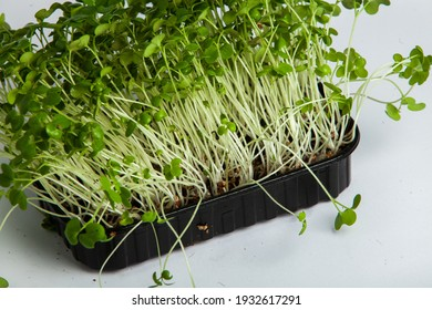 Organic raw green food. Different types of micro green dill sprouts. Vegan salad from microgreens.