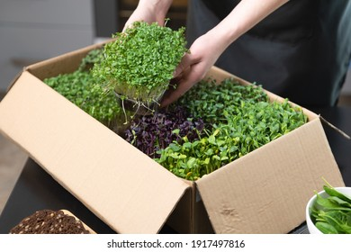 Organic raw microgreens. Women taking out a container with sprouts out of a cardbordbox banner. Healthy superfood eating concept.