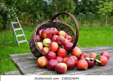 Organic red apples in a basket and spilled on the old table