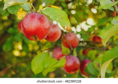 Organic red apples on a branch ready to be harvested
