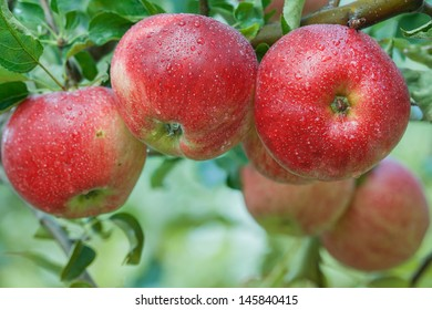 Organic red apples with water drops on tree branch