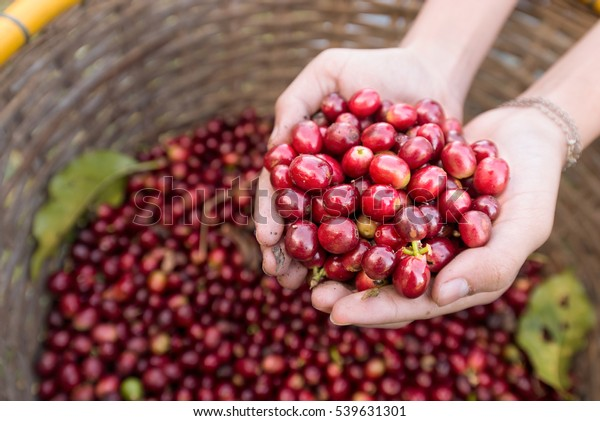 organic red berries coffee beans in hands.