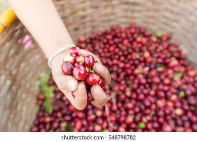 organic red cherries coffee beans in kid hand, berry coffee beans