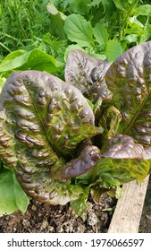 Organic Red lettuce salad leaves growing in greenhouse